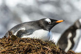 Pingwin białobrewy pozostaje w jego gniazdo. — Zdjęcie stockowe