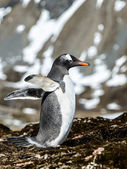Gentoo penguin tries to fly with wings. — Foto de Stock