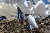 Pingüinos gentoo — Foto de Stock