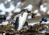 Gentoo penguin — Stock Photo