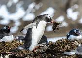 巴布亚企鹅 — 图库照片