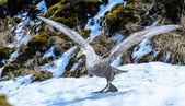 Albatros se chystá vzlétnout s obrovská křídla. — Stock fotografie