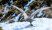 Albatross is about to take off with the huge wings. — Stockfoto
