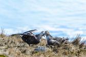 Par de albatros en su nido — Foto de Stock
