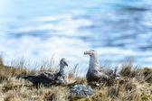 Kilka albatrosy w swoje gniazdo — Zdjęcie stockowe