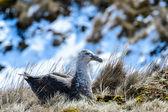 Paar albatrosse in ihrem nest — Stockfoto