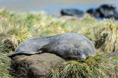 Atlantic fur seal sleeps. — Stock Photo