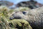 морской слон — Стоковое фото