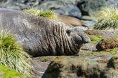 Słoń morski — Zdjęcie stockowe