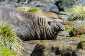 éléphant de mer — Photo