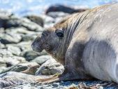 象海豹 — 图库照片