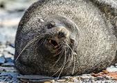 北大西洋海狗奠定了并试图睡着。眼睛是悲伤. — 图库照片
