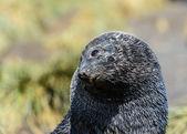 大西洋オットセイを産むし、スリープ状態にしようとします。目は悲しい. — ストック写真
