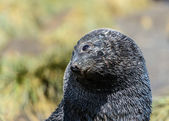 Atlantic fur seal lays and tries to sleep. The eyes are sad. — Stock Photo
