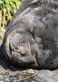 Atlantic fur seal sleeps deeply. — Stock Photo