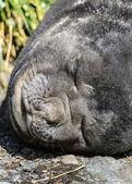 Otarie à fourrure atlantique dort profondément. — Photo