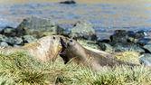 大西洋シール スワンク. — ストック写真
