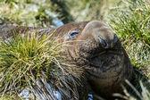 Elephant seal mit einem zufriedenen blick. — Stockfoto