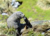 大西洋海豹. — 图库照片