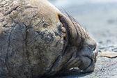 Seal sleeps deeply. — Stock Photo