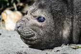Atlantik kožešinová pečeť a jeho roztomilé oči. — Stock fotografie
