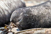Atlantic fur seal sleeps on its back. — Stock Photo