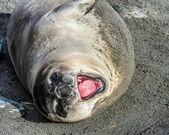 Atlantic seal screams something. — Stock Photo