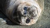 Phoque de l'atlantique regarde avec des yeux complets. — Photo