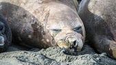 Female elephant seal sleeps but care of what is going on around. — Stock Photo