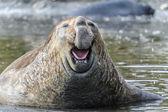 Elefante-marinho — Foto Stock