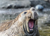 Elephant seal — Stock Photo