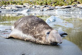 Elephant seal lächelt ironicly. — Stockfoto