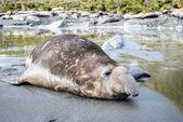 Zeeolifant neemt een rust alleen. — Stockfoto