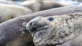 Deniz fili ironicly gülümsüyor. — Stok fotoğraf