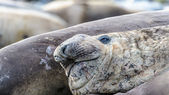 Elephant seal smiles ironicly. — Stock Photo