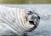 Atlantic seal looks suprised. — Stock Photo