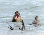 Guarnizioni nuota nell'oceano. — Foto Stock