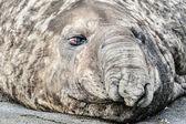 Słoń morski próbuje spać. — Zdjęcie stockowe