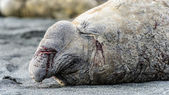 Hurt and wounded elephant seal — Stock Photo