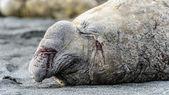 Verletzt und verwundet elephant seal — Stockfoto