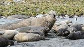 大西洋のシールの様々 な種 — ストック写真