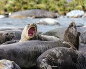不同种类的大西洋海豹 — 图库照片