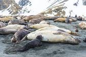 тюлени лежали над линией побережья океана — Стоковое фото