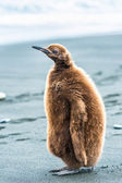 Portrait of a penguin with brown feathers — Stock Photo