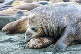 Elefante marino en arañazos — Foto de Stock