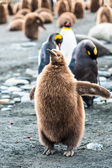 En flock pingviner — Stockfoto