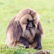 Portrait of a baboon — Foto de Stock