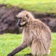 Portrait of a baboon — Stockfoto