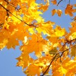 Stock Photo: Yellow maple leaves and blue sky