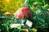 毒菌在森林里的蘑菇 — 图库照片